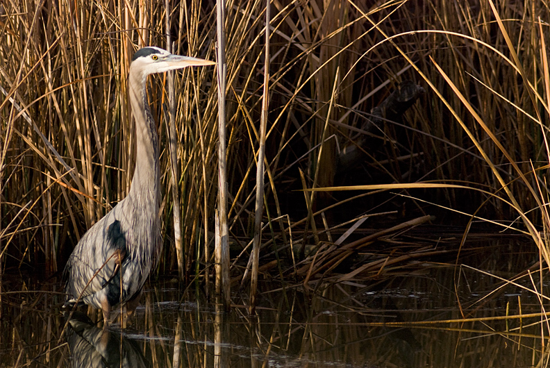 Photograph of a great blue heron in Bosque del Apache National Wildlife Refuge, New Mexico.