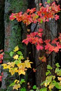 Autumn photograph of maple leaves.