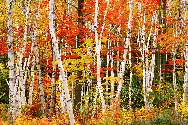 Fall photograph of a birch forest in New Hampshire.