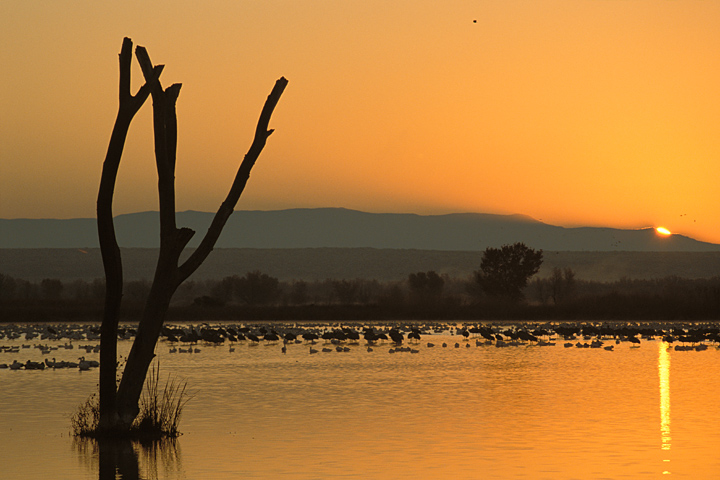 Sunrise photograph of water foul in Bosque del Apache National Wildlife Refuge near Socorro, New Mexico.