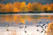 Autumn photograph of Sandhill Cranes at the Bosque del Apache National Wildlife Refuge, New Mexico.