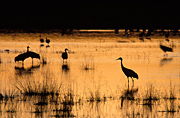 Photograph of Sandhill Cranes in Bosque del Apache National Wildlife Refuge, New Mexico.