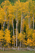 Colorado Aspen Photograph