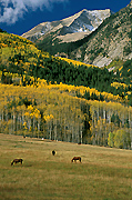 Autumn photograph of horses, Colorado