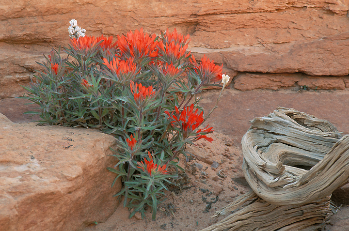 Photographofpaintbrush in the Coyote Buttes area ofsouthwest Utah near ...