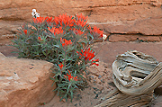 Photograph of Southwest wildflowers in Utah.