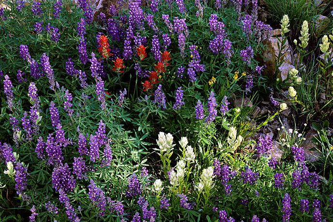 Photograph of paintbrush and lupine near Crested Butte, Colorado.