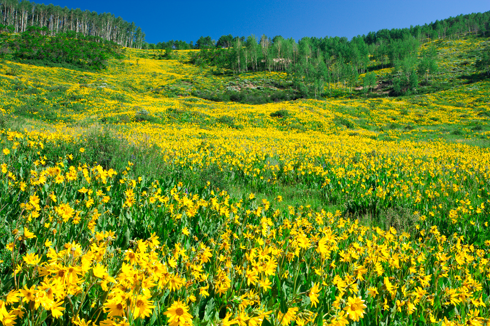 Yellow wildflowers crested butte picture wildflowers mightylinksfo